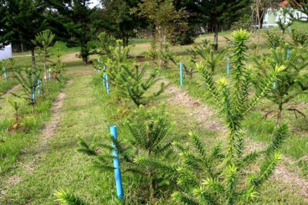 Certificado de Identificação de Floresta Plantada com Espécie Nativa – CIFPEN – já pode ser solicitado