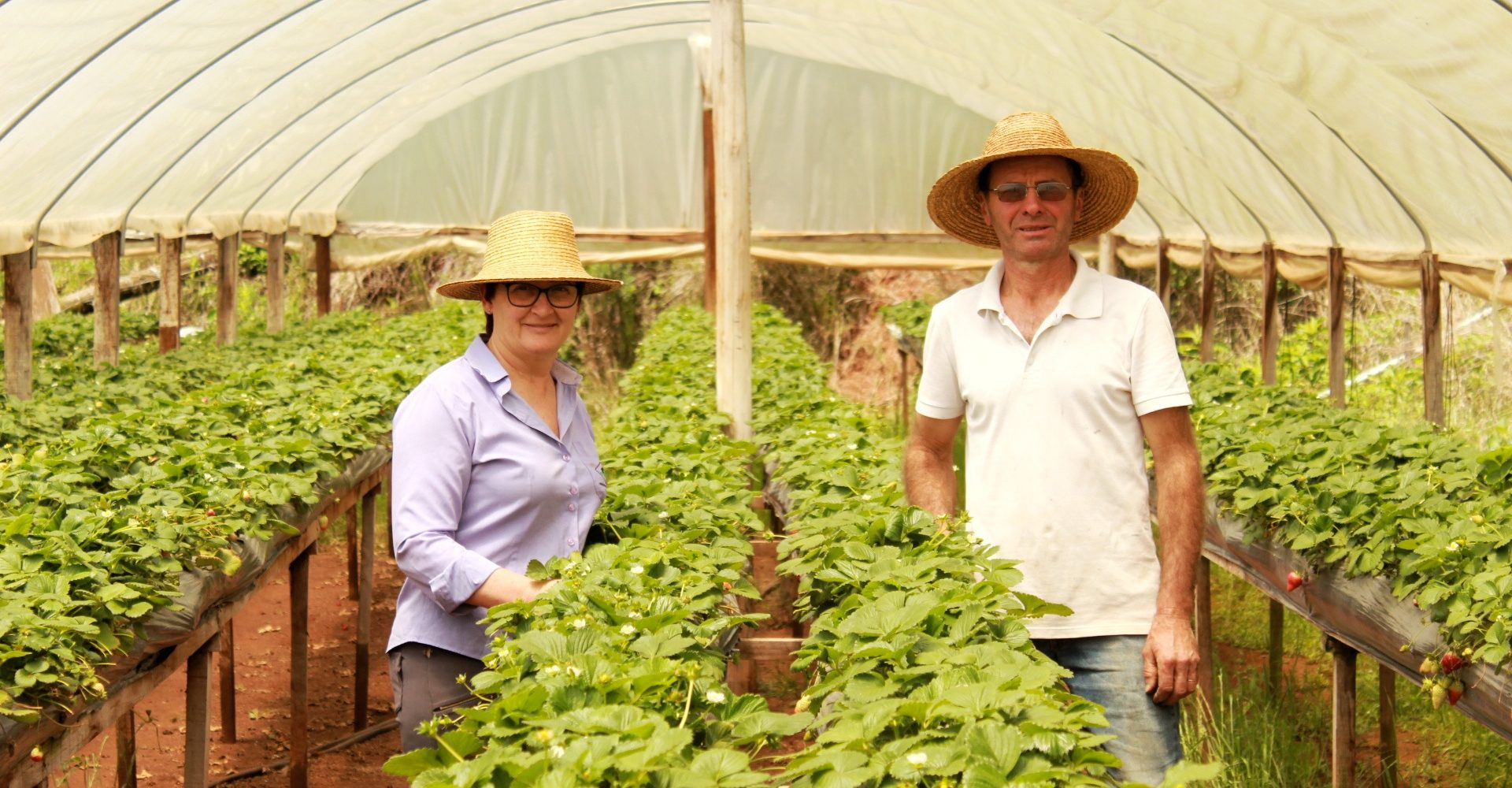 Produção de morango ganha destaque em Serafina Corrêa